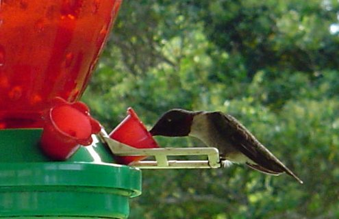 This is a female Ruby-Throated Hummingbird. She and her man were the first hummingbirds to come to my feeder. I named them Fred and Ginger!