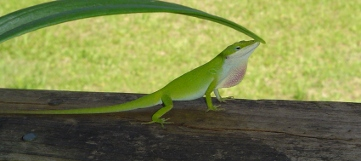 This is an anole. This one ruled my my deck and my brother-in-law name him Clyde.